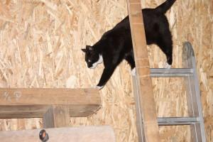 Eine schwarz-weiße Katze klettert über eine Leiter.